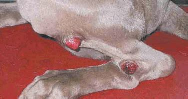 Lap of Love Veterinary Hospice: Mast Cell Tumors In Dogs
