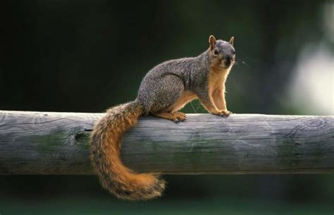 Squirrel: Getting Started Hunting   MDC Hunting and Fishing