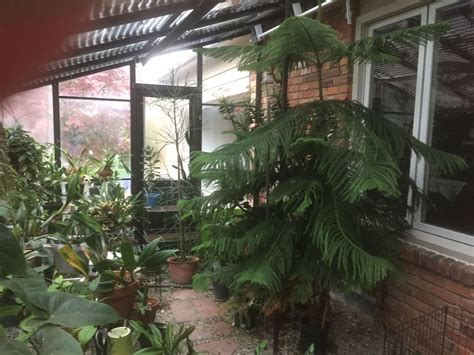 Large Norfolk Island Pine For Free Listing